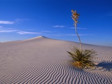 Yucca and Dunes  White Sands National Monument