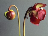Sarracenia