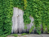 Ivy Covered Barn Door