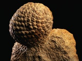Fossilized Pine Cone
