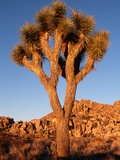 Joshua Tree in Sunlight