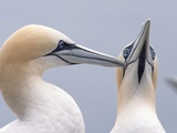 Two Northern Gannets