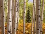 Aspen Forest