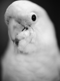 Parrot's Head