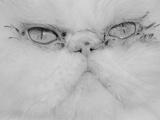 Face of a Persian Cat