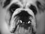 Face of a Bulldog
