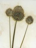 Allium II