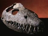 Fossil Crocodile Skull