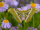 Ailanthus Silkmoth on Aster Flower