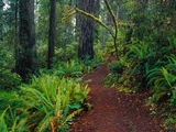 Trail Through Redwood Trees