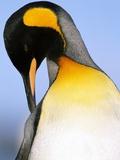 King Penguin Grooming Itself