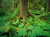 Kadasham Rain Forest in Tongass National Forest