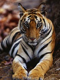 Young Female Tiger Lying on Rock