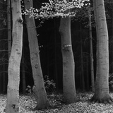 Beech Forest  Netherlands  1971