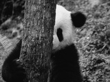Panda Behind a Tree