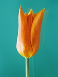Orange Tulip