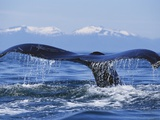 Tail of Surfacing Humpback Whale