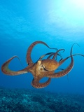 Octopus cyanea or Day Octopus