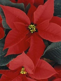 Poinsettia