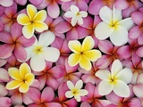 Plumeria Flowers