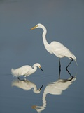 Snowy and Great Egrets