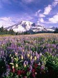 Wildflowers in Mt Rainier National Park