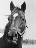 Man O&#39; War Relaxing on His Farm