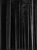 Aspen Forest by Brett Weston