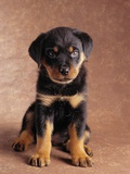 Rottweiler Puppy