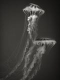 Two Jellyfish Papier Photo par Henry Horenstein