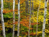 Birch and Maple Trees in Autumn