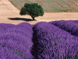 Solitary Tree in a Field of Lavender