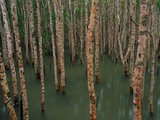 Mangrove Forest at High Tide
