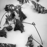 Ferns in Snow  1974