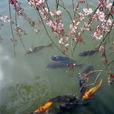 Fish Swimming Under Cherry Blossom