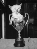 Siamese Kitten in a Trophy Cup