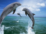 Dolphins Jumping in Ocean