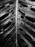Wet Leaf by Brett Weston