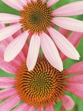 Pink Cone Flowers Close-Up