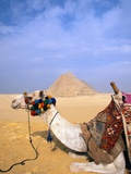 Camel by Great Pyramids
