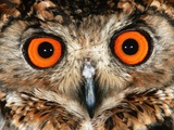 Cape Eagle Owl Eyes