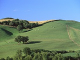 Cattle Grazing on Hillside