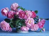 Grussan Achen Felicia and Centenaire de Lourdes Roses
