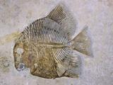 Macromesodon Macropterus Fish Fossil