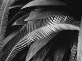 Palms  Bronx Botanical Gardens  1945