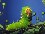 Polyphemus Moth Caterpillar Perching on Twig