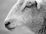 Side of Sheep's Face