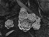 Succulents  1943