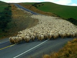 Flock of Sheep in Roadway