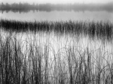 Reeds in Pond with Fog on Horizon